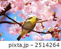 メジロと河津桜 2514264