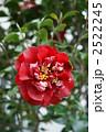 八重 椿 花の写真 2522245