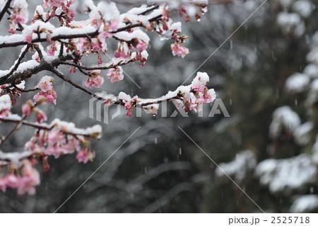 雪の降る中咲く河津桜 2525718