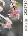 河津桜 花 桜の写真 2525719