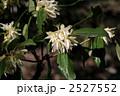 シキミの花 2527552