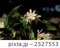 シキミの花 2527553