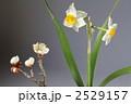梅 スイセン 花の写真 2529157