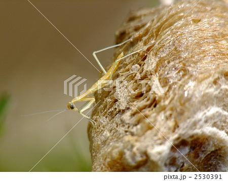 孵化したカマキリの一令幼虫 2530391