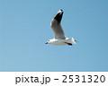 渡り鳥 ユリカモメ カモメの写真 2531320
