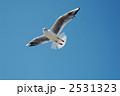 渡り鳥 ユリカモメ カモメの写真 2531323