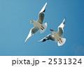 渡り鳥 ユリカモメ カモメの写真 2531324