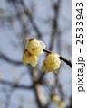 ロウバイ 梅 花の写真 2533943
