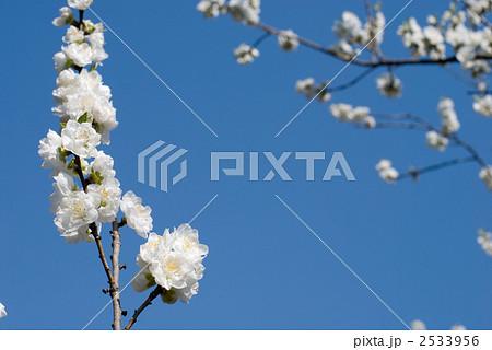 白いハナモモの花と青空 2533956