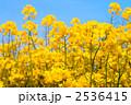 菜の花と青空 2536415