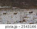 陸上動物 エゾジカ エゾシカの写真 2543166