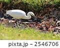 シラサギ 白鷺 コサギの写真 2546706