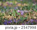 タチツボスミレ カタクリ スミレの写真 2547998