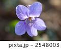 タチツボスミレ スミレ 植物の写真 2548003
