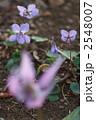 タチツボスミレ スミレ 植物の写真 2548007