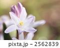 チオノドクサ・ルキリアエ-01■花・ピンクジャイアント・雪解百合 2562839