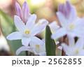 チオノドクサ・ルキリアエ-03■花・ピンクジャイアント・雪解百合 2562855