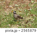 むくどり ムクドリ 野鳥の写真 2565879