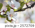 ユスラウメ-01■花・梅桃・山桜桃梅・ユスラゴ・ゆすらうめ 2572709