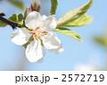 ユスラウメ-03■花・梅桃・山桜桃梅・ユスラゴ・ゆすらうめ 2572719