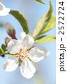 ユスラウメ-04■花・梅桃・山桜桃梅・ユスラゴ・ゆすらうめ 2572724