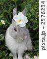 ネザーランドドワーフ 動物 うさぎの写真 2576234