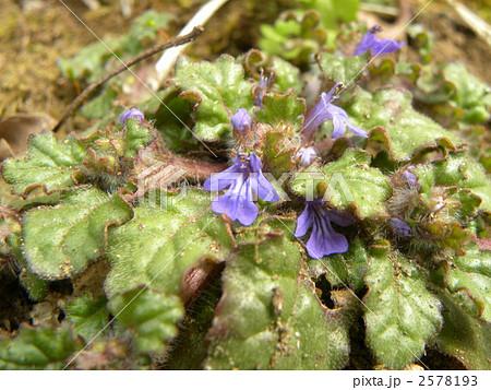 地獄の釜の蓋と呼ばれる紫の花を咲かすキランソウ 2578193