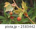 スズカケノキ モミジバスズカケノキ 紅葉葉鈴懸の木の写真 2583442