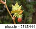スズカケノキ モミジバスズカケノキ 紅葉葉鈴懸の木の写真 2583444