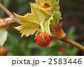 スズカケノキ モミジバスズカケノキ 紅葉葉鈴懸の木の写真 2583446