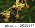 スズカケノキ モミジバスズカケノキ 紅葉葉鈴懸の木の写真 2583447