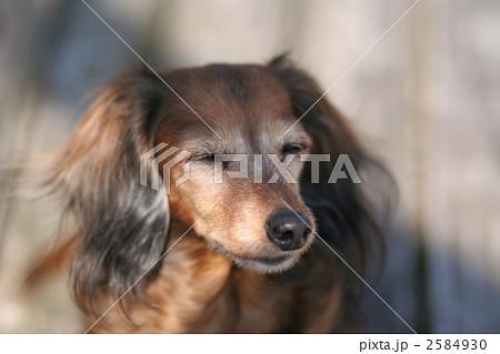 日差しを浴びる犬 2584930