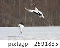 タンチョウ 鶴 丹頂鶴の写真 2591835