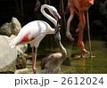 フラミンゴ 雛 鳥の写真 2612024
