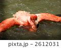 ベニイロフラミンゴ 水浴び フラミンゴの写真 2612031