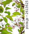 葉桜 花 春の写真 2613625