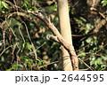 コゲラ 鳥類 キツツキの写真 2644595