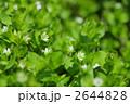 ハコベ 花 野草の写真 2644828
