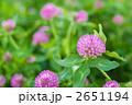アカツメクサ 赤詰草 ムラサキツメクサの写真 2651194
