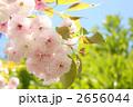 八重桜 ヤエザクラ 花の写真 2656044