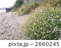 ハマダイコン 2660245