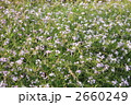 ハマダイコン 2660249