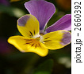 ビオラ 植物 花の写真 2660392