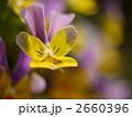 ビオラ 植物 花の写真 2660396