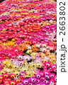 リビングストンデージーの一面花畑 2663802
