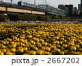菊 2667202