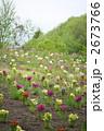 リナリアの花畑 2673766