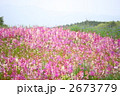 リナリアの花畑 2673779