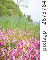 リナリアの花畑 2673784