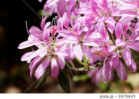 ピンク色の細い花びらのツツジ 2676645